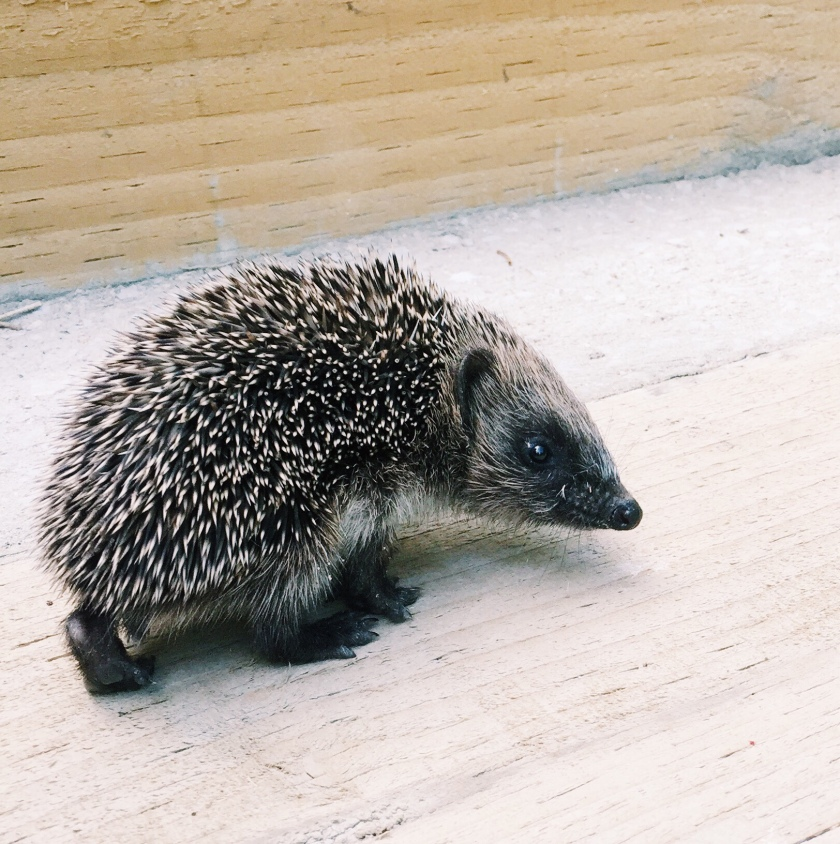 How to encourage hedgehogs into your garden